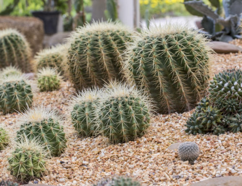 Cactus/Cacti and Why They are so Great!